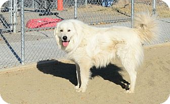 Great Pyrenees Dog for adoption in Gardnerville, Nevada - Alpine