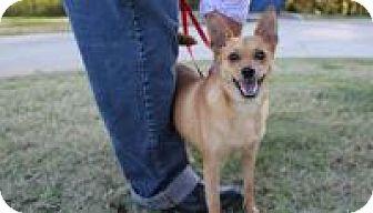Pomeranian/Miniature Pinscher Mix Dog for adoption in Stillwater, Oklahoma - Buster