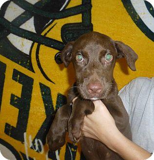 Labrador Retriever Mix Puppy for adoption in Oviedo, Florida - Ajax