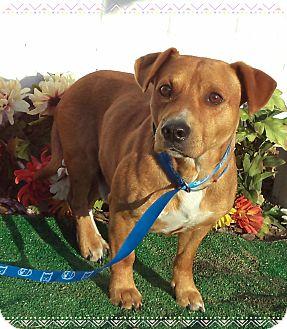 Corgi Mix Dog for adoption in Marietta, Georgia - BERNIE (R)