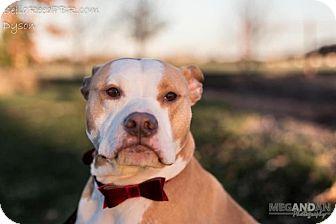 Pit Bull Terrier Mix Dog for adoption in Southampton, Pennsylvania - Dyson