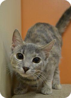 Domestic Shorthair Kitten for adoption in Michigan City, Indiana - Nala