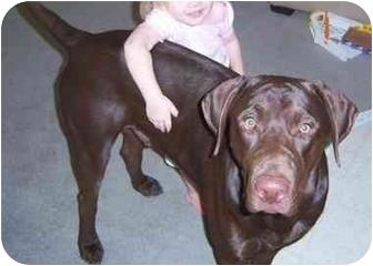 Labrador Retriever Dog for adoption in Las Vegas, Nevada - Duke