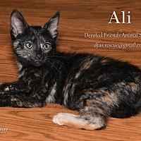 Domestic Shorthair Cat for adoption in Ortonville, Michigan - Ali
