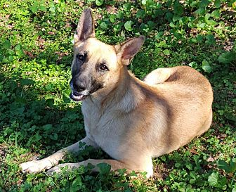 German Shepherd Dog Dog for adoption in Alpharetta, Georgia - Savvie La Joie (Savvy)