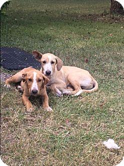 Labrador Retriever/Hound (Unknown Type) Mix Puppy for adoption in Burlington, Vermont - A - Clinton OR Donald