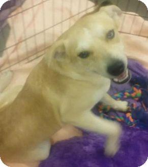 Cattle Dog Mix Dog for adoption in Phoenix, Arizona - Bruce