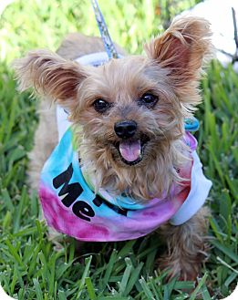 Yorkie, Yorkshire Terrier Mix Dog for adoption in Ft. Lauderdale, Florida - Scruffy