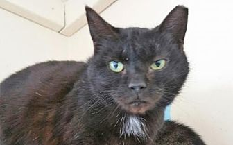 Domestic Shorthair Cat for adoption in Berlin, Maryland - Homer