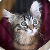 Adopt A Pet :: Maia - Chicago, IL