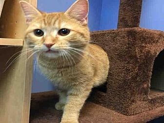 Domestic Mediumhair Cat for adoption in Canfield, Ohio - CHEDDAR