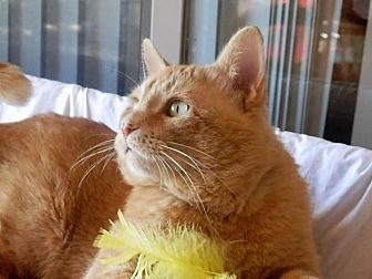 Domestic Shorthair Cat for adoption in Prescott, Arizona - Tang