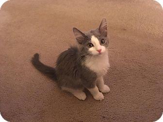 Domestic Longhair Kitten for adoption in Irwin, Pennsylvania - Lila