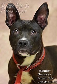 American Pit Bull Terrier/Boston Terrier Mix Puppy for adoption in Newnan City, Georgia - Banner