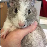 Adopt A Pet :: ACORN - Boston, MA