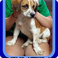Adopt A Pet :: BRUTUS - Allentown, PA