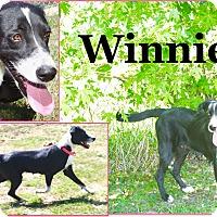 Border Collie/Bernese Mountain Dog Mix Dog for adoption in Cuba, Missouri - Winnie