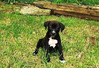 Labrador Retriever Mix Puppy for adoption in MCLEAN, Virginia - Joyce