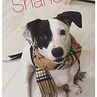Adopt A Pet :: Shandy - Houston, TX