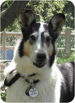 Collie Mix Dog for adoption in Trabuco Canyon, California - Midge