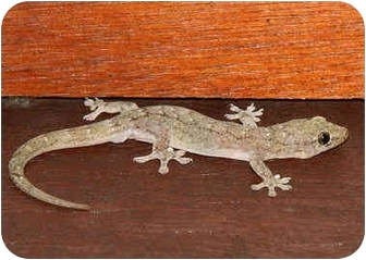 Gecko for adoption in Lewisville, Texas - House Geckos