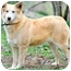 Photo 2 - Golden Retriever/Australian Shepherd Mix Dog for adoption in Pawling, New York - CHABLIS