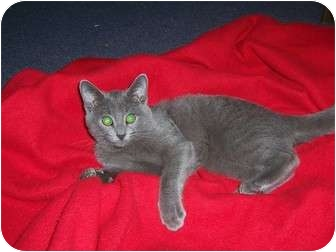 Russian Blue Kitten for adoption in Taylor Mill, Kentucky - Blue-$125 DECLAWED Kitten