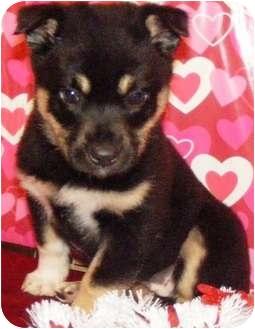 German Shepherd Dog/Australian Shepherd Mix Puppy for adoption in Oswego, Illinois - I'M ADOPTED VL Valentine Evans
