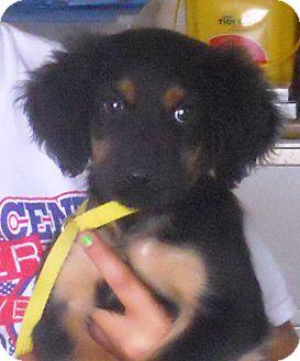 Spaniel (Unknown Type) Mix Puppy for adoption in Belvidere, Illinois - Gideon