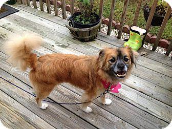 Pekingese Mix Dog for adoption in Indian Trail, North Carolina - Sunny