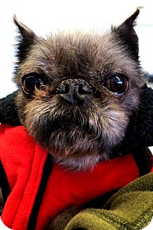 Brussels Griffon Dog for adoption in Princeton, Kentucky - Porky