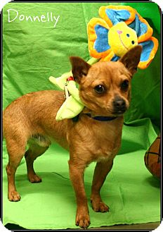 Chihuahua Mix Dog for adoption in Ogden, Utah - Donnelly