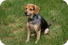 Shepherd (Unknown Type)/Beagle Mix Dog for adoption in Norwich, Connecticut - Blarney