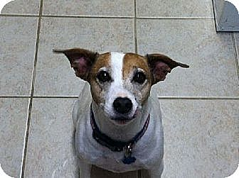 Jack Russell Terrier Dog for adoption in Columbia, Tennessee - Stitch