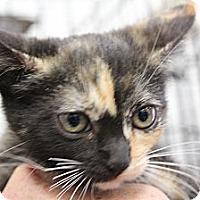 Adopt A Pet :: Chrissy tortie - Santa Monica, CA