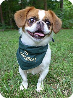 Japanese Chin/Pug Mix Dog for adoption in Mocksville, North Carolina - Pixie