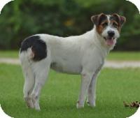 Terrier (Unknown Type, Medium) Mix Dog for adoption in Jacksonville, Arkansas - Marjorie