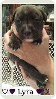 Pit Bull Terrier/Labrador Retriever Mix Puppy for adoption in Ft. Lauderdale, Florida - Lyra