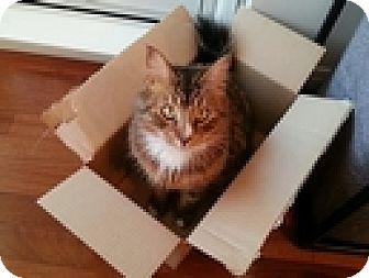 Domestic Mediumhair Cat for adoption in Vancouver, British Columbia - Preacher