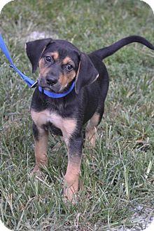 Shepherd (Unknown Type)/Hound (Unknown Type) Mix Puppy for adoption in Parkville, Missouri - Deacon