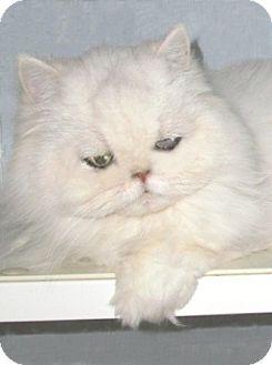 Persian Cat for adoption in Gilbert, Arizona - Frisky