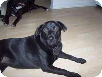 Labrador Retriever/Black Mouth Cur Mix Dog for adoption in Riverview, Florida - Tally Ho