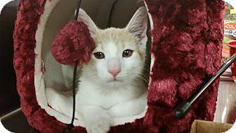 Domestic Shorthair Kitten for adoption in Huntley, Illinois - Dewey