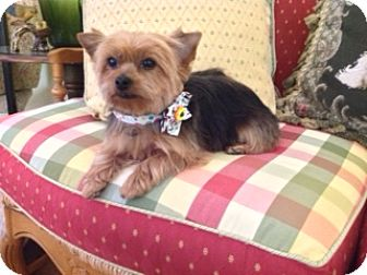 Yorkie, Yorkshire Terrier Mix Dog for adoption in Conroe, Texas - Sweet Pea