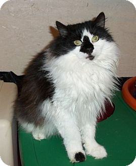 Persian Cat for adoption in Lisbon, Ohio - Moochie - ADOPTED!