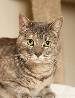 Domestic Shorthair Cat for adoption in Ft. Lauderdale, Florida - Paulina