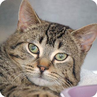 Domestic Shorthair Cat for adoption in Salem, Massachusetts - Maxwell