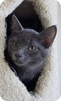 Domestic Shorthair Kitten for adoption in Fairfax, Virginia - Clive