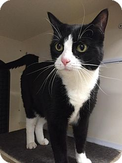 Domestic Shorthair Cat for adoption in Hazlet, New Jersey - Kalu