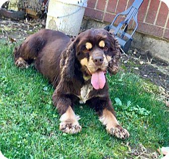 Cocker Spaniel Dog for adoption in Mentor, Ohio - BINDI* PUREBRED COCKER!!
